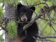 Baby Bear wallpaper 2