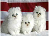 White cats wallpaper 10