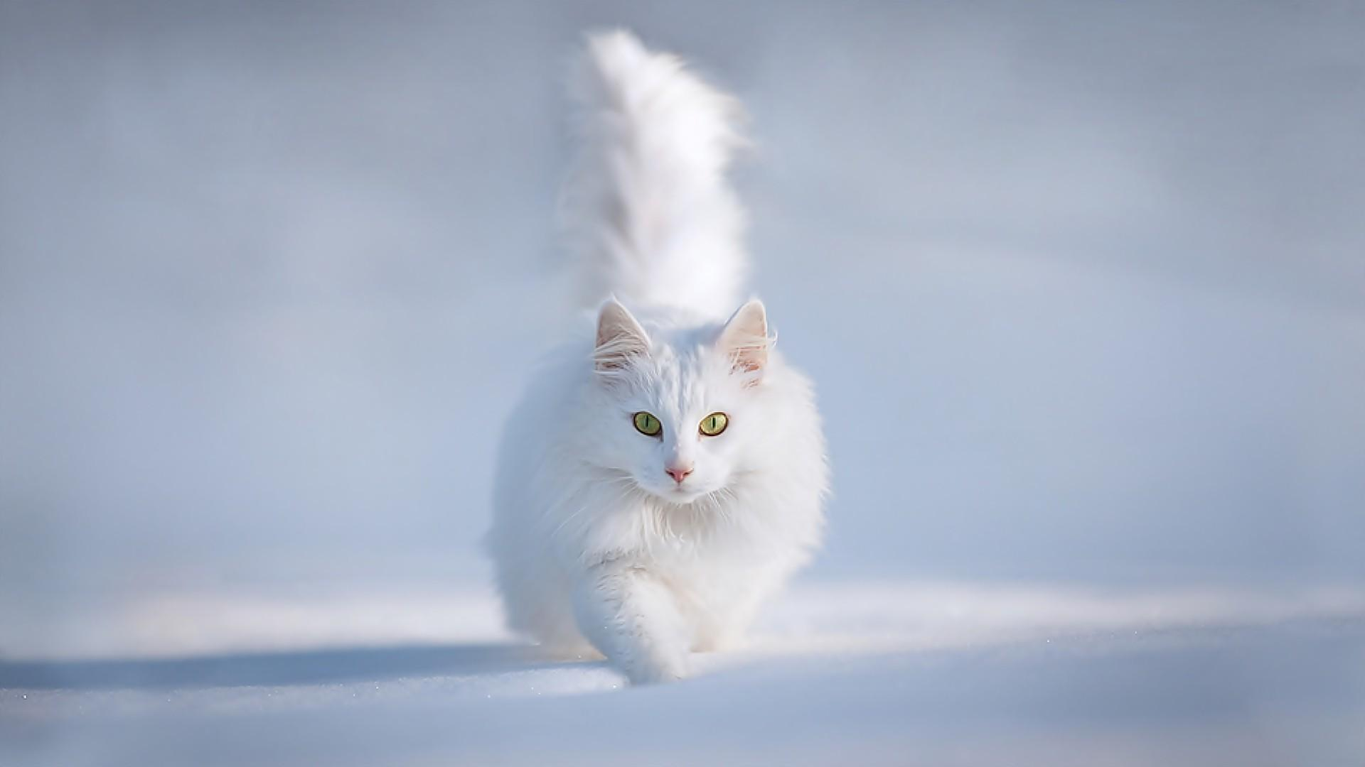 White Cats Wallpaper 5