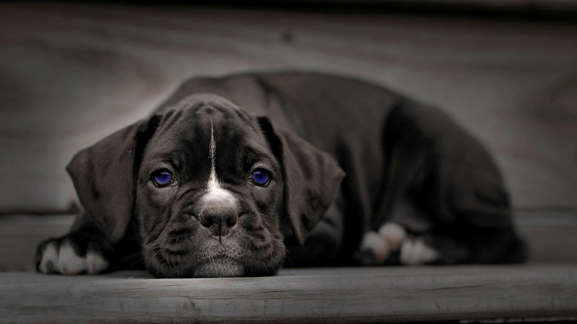 boxer dog wallpaper 8