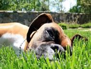 Boxer Dog wallpaper 10