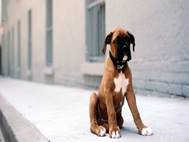 Boxer Dog wallpaper 2