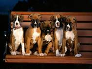 Boxer Dog wallpaper 3