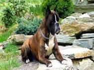 Boxer Dog wallpaper 5
