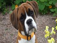 Boxer Dog wallpaper 9