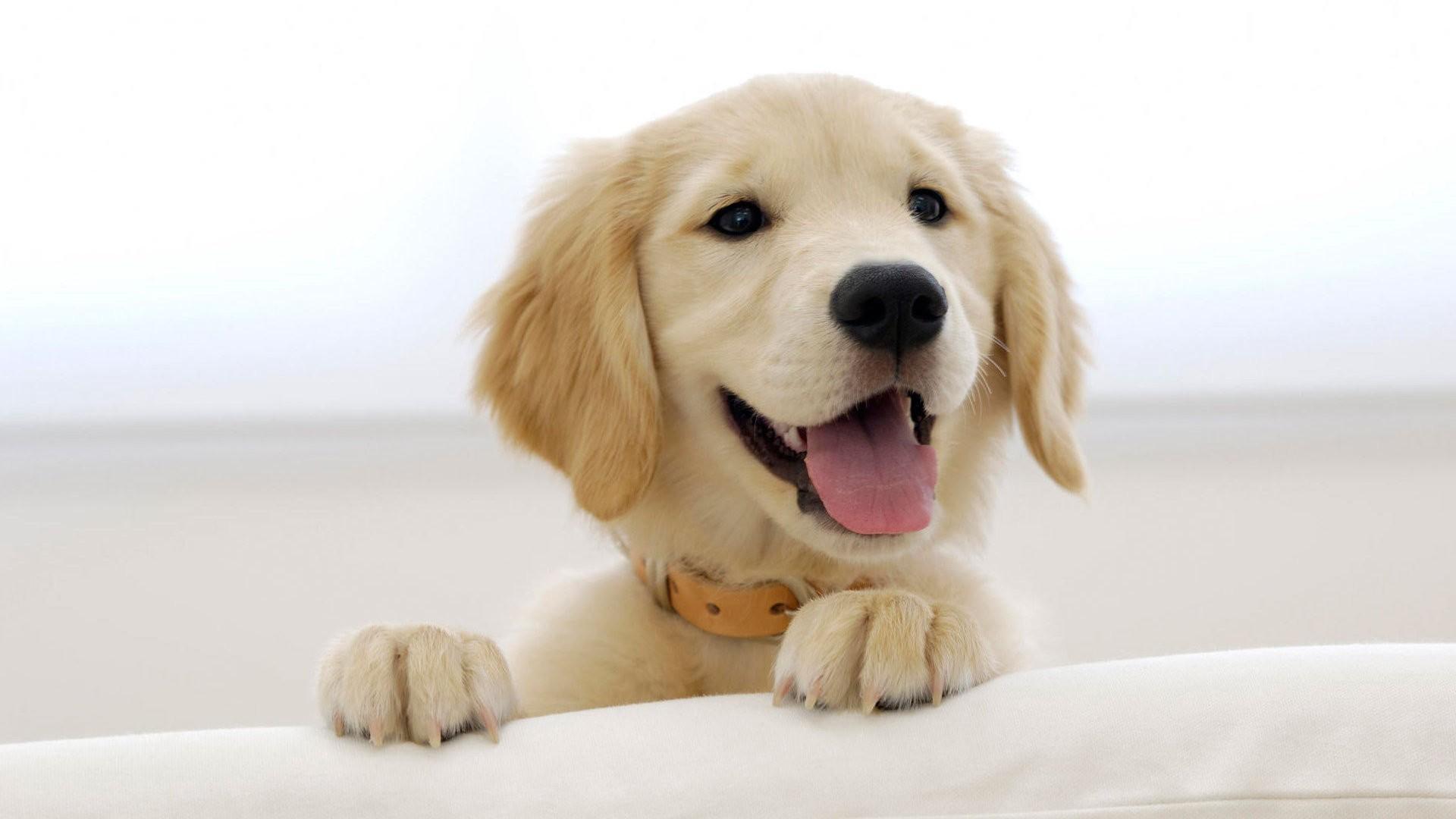 Labrador Dog Wallpaper 19