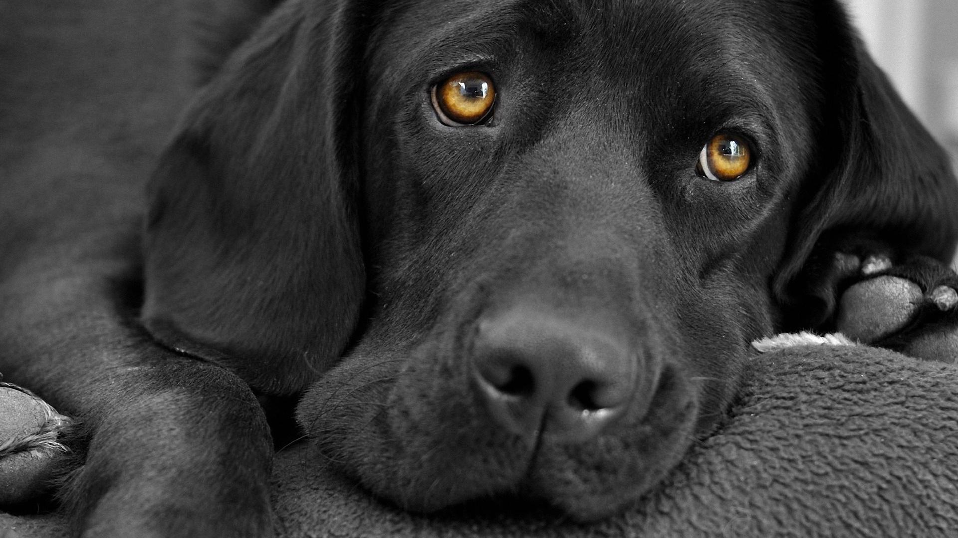 Labrador Dog Wallpaper 6