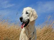 Labrador Dog wallpaper 10