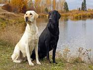 Labrador Dog wallpaper 12