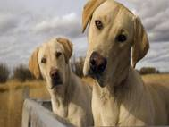 Labrador Dog wallpaper 15