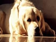 Labrador Dog wallpaper 17