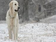Labrador Dog wallpaper 18