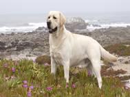 Labrador Dog wallpaper 5