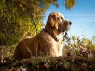 Labrador Dog wallpaper 8